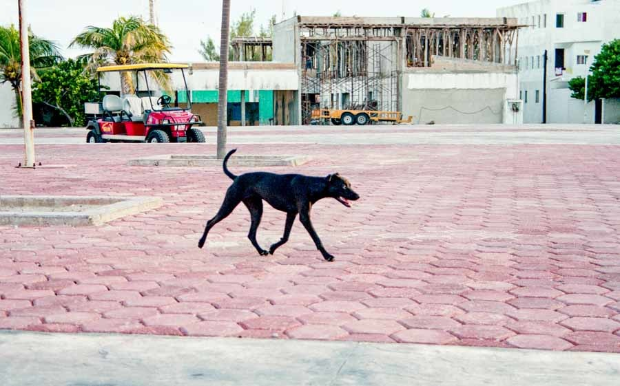 Stray Dog, Isla Mujerés, 2012
